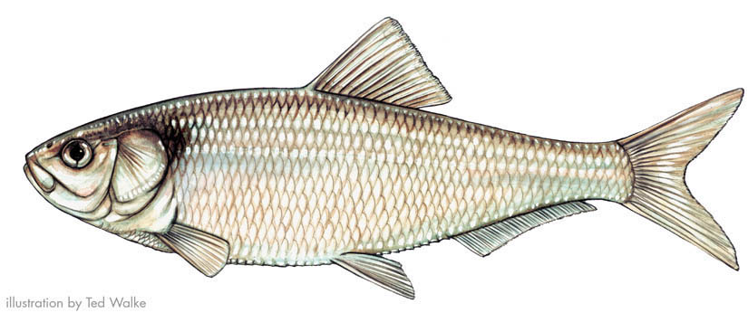 Herrings for Vermont state fish