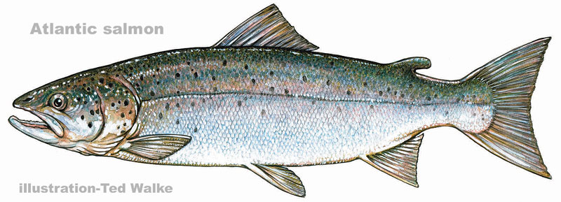 Trouts and salmons for How to fish for salmon