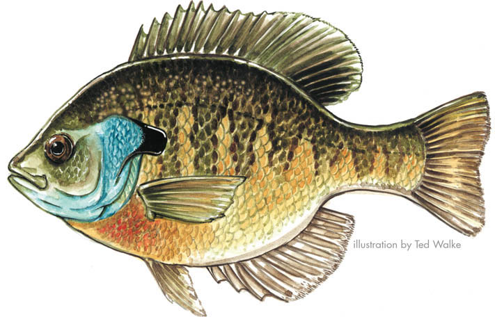 Sunfishes for Blue gill fishing