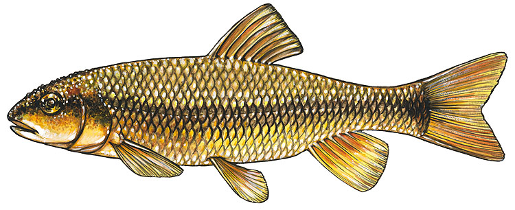 Carps and Minnows
