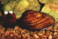 Clubshell mussel photo