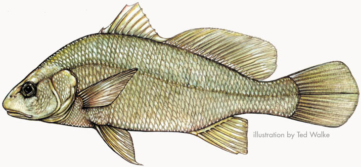 Drums and croakers for Freshwater fish representative species