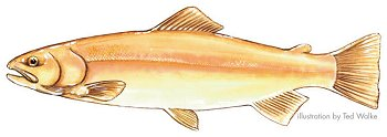 Golden Rainbow Trout