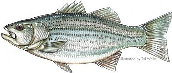 Striped Bass Hybrid