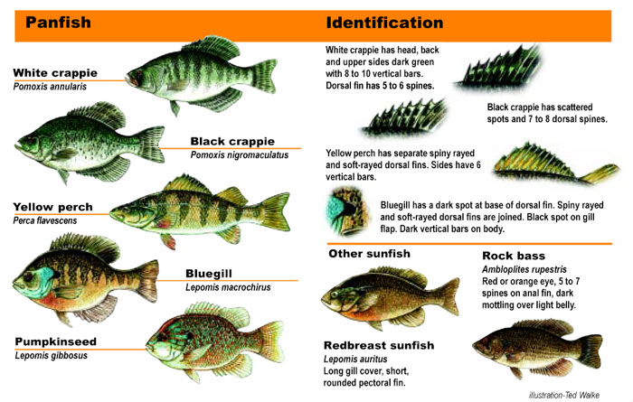 Panfish Identification