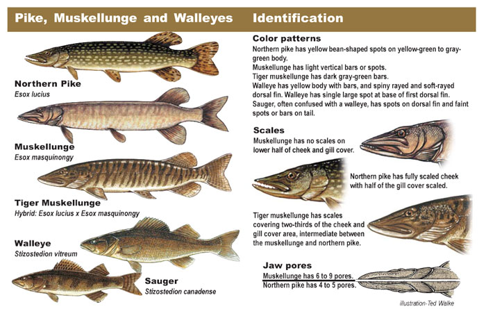 Pike, Muskellunge and Walleyes Identification diagram