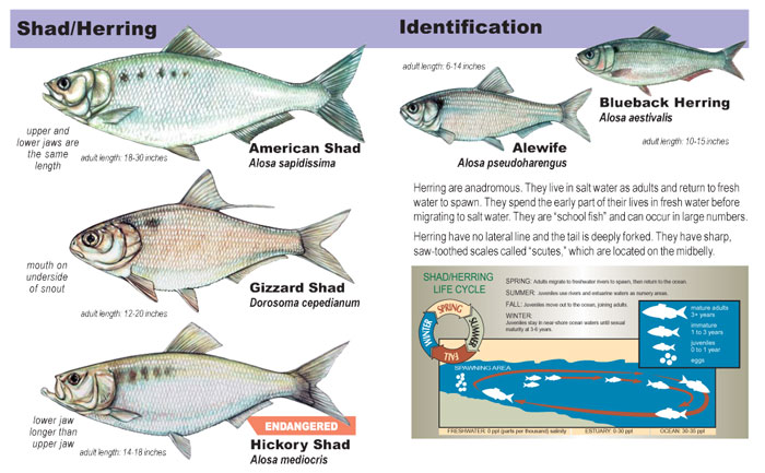 Herrings shad identification sciox Images