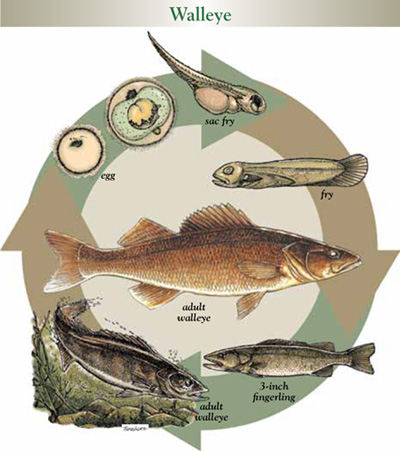 Life cycle of walleye
