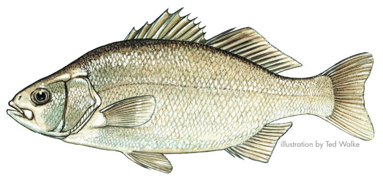 Temperate basses for White perch fish