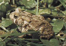 "Figure 111-4, The ""hop toad"" commonly found in gardens throughout the state is often identified as the eastern American toad."