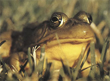Figure 111-5, The yellow throat helps identify the male green frog.