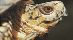 Figure IV-1, The down-turned beak and red eye aid in identifying this male box turtle.