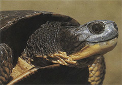 Figure IV-2, The Blanding's turtle is a candidate species in Pennsylvania.