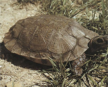 Figure IV-4, The carved pyramids on the carapace of the wood turtle are actually large scales.