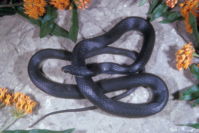 Northern Black Racer