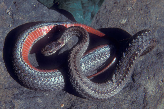 Northern Redbelly