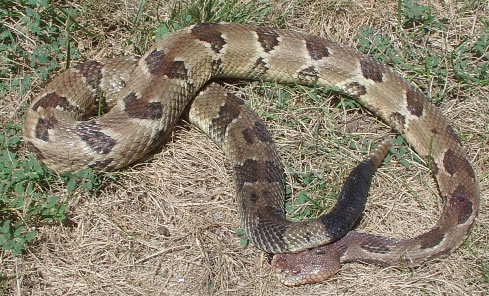 Timber Rattlesnake, Yellow Phase