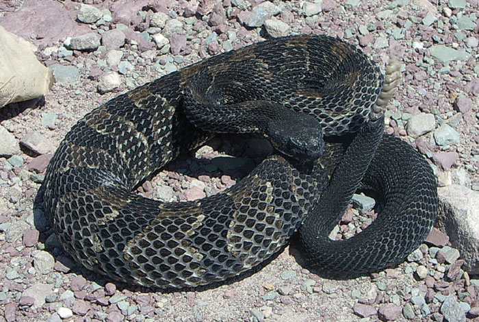 Timber rattlesnake, Black Phase